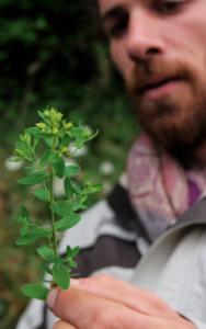 herboristerie - millepertuis perforé